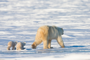 Polar bear (Ursus maritimus) mother and two cubs walking away, Canada, Manitoba, 2
