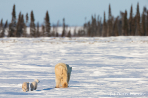 Polar bear (Ursus maritimus) mother and two cubs walking away, Canada, Manitoba, 3