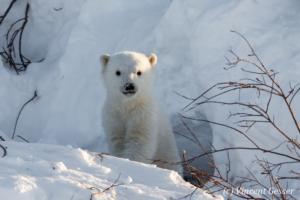 Polar bear (Ursus maritimus) cub outside its den, Canada, Manitoba, 2
