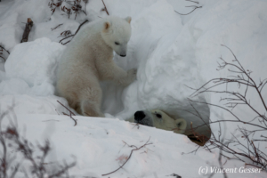 Polar bear (Ursus maritimus) mother checking on cub, Canada, Manitoba, 1