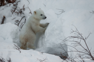 Polar bear (Ursus maritimus) cub outside its den, Canada, Manitoba, 4