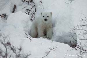 Polar bear (Ursus maritimus) cub outside its den, Canada, Manitoba, 5