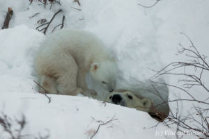 Polar bear (Ursus maritimus) mother checking on cub, Canada, Manitoba, 2