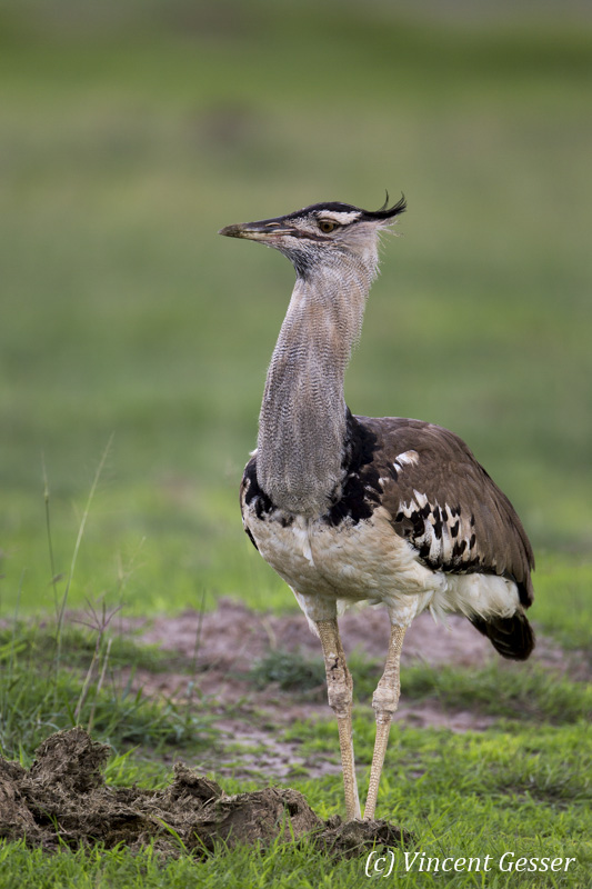 Kori Bustard (Ardeotis kori) walking on the plain of Amboseli National Park, Kenya, 1