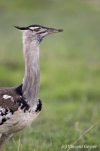 Kori Bustard (Ardeotis kori) watching the plain of Amboseli National Park, Kenya, 1