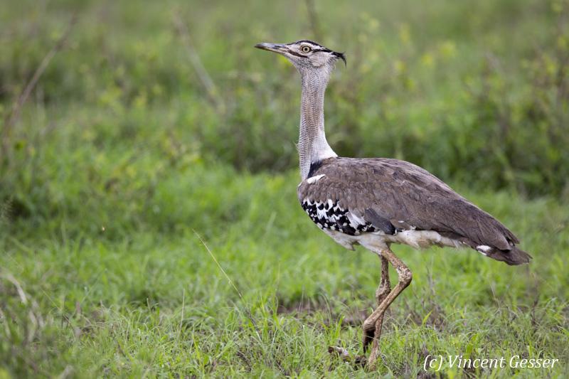 Kori Bustard (Ardeotis kori) walking on the plain of Amboseli National Park, Kenya, 2