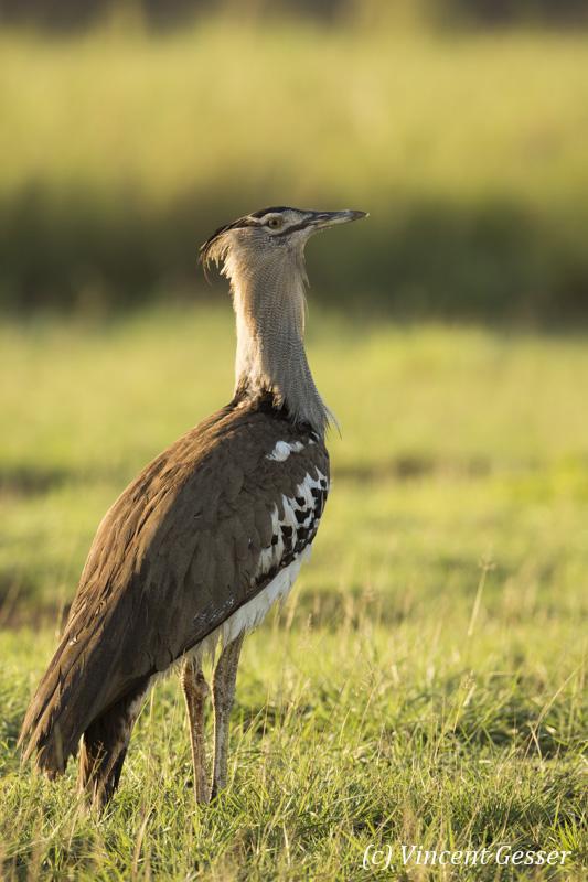 Kori Bustard (Ardeotis kori) watching the plain of Amboseli National Park, Kenya, 2