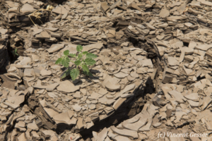 Cracked ground of the Chalbi Desert with a loney surviving plant, Kenya