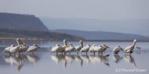 Group of great white pelican (Pelecanus onocrotalus) on Lake Magadi, Kenya, 2