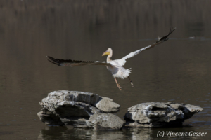 Great white pelican (Pelecanus onocrotalus) flying away on Lake Magadi, Kenya, 1