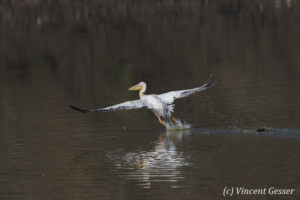 Great white pelican (Pelecanus onocrotalus) flying away on Lake Magadi, Kenya, 2