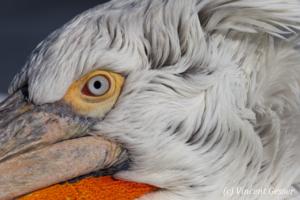 Portait of a dalmatian pelican (Pelecanus crispus), Lake Kerkini National Park, Greece