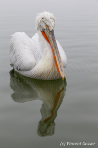 Dalmatian pelican (Pelecanus crispus) swimming by a misty day, Lake Kerkini National Park, Greece