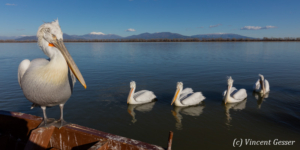 Group of dalmatian pelicans (Pelecanus crispus) by a sunny day, Lake Kerkini National Park, Greece