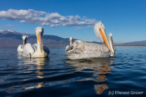 Group of dalmatian pelicans (Pelecanus crispus) swimming by a sunny day, Lake Kerkini National Park, Greece