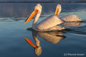 Two dalmatian pelicans (Pelecanus crispus) swimming by a sunny day, Lake Kerkini National Park, Greece