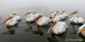Group of dalmatian pelicans (Pelecanus crispus) swimming by a misty day, Lake Kerkini National Park, Greece