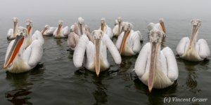 Group of dalmatian pelicans (Pelecanus crispus) swimming by a misty day, Lake Kerkini National Park, Greece