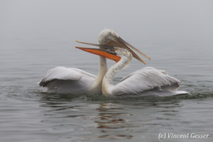 Two dalmatian pelicans (Pelecanus crispus) play fighting by a misty day, Lake Kerkini National Park, Greece