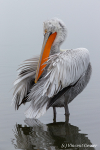 One dalmatian pelican (Pelecanus crispus) grooming its feathers by a misty day, Lake Kerkini National Park, Greece