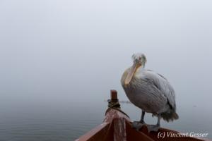 One dalmatian pelican (Pelecanus crispus) standing on a board by a misty day, Lake Kerkini National Park, Greece