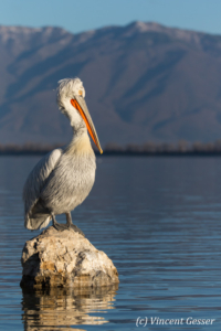One dalmatian pelican (Pelecanus crispus) standing on a a rock, Lake Kerkini National Park, Greece