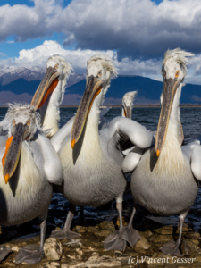 Group of dalmatian pelicans (Pelecanus crispus) standing on the shore, Lake Kerkini National Park, Greece