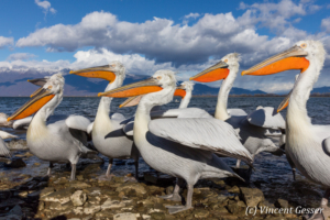 Close up of group of dalmatian pelicans (Pelecanus crispus) standing on the shore of Lake Kerkini National Park, Greece