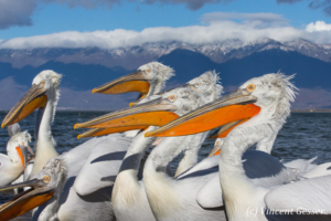 Close up of group of dalmatian pelicans (Pelecanus crispus), Lake Kerkini National Park, Greece