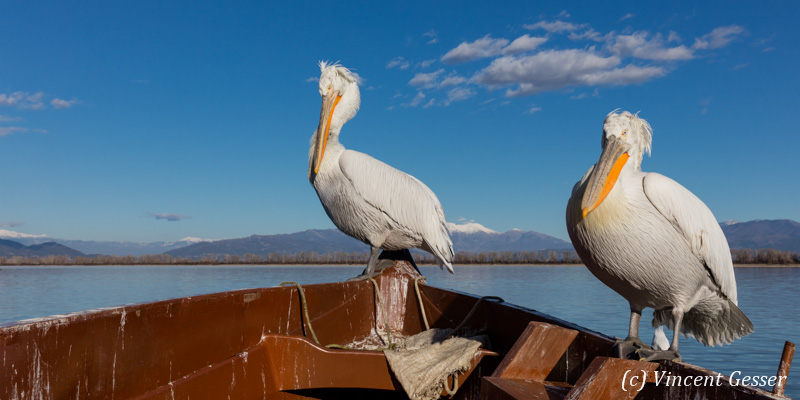 Two dalmatian pelicans (Pelecanus crispus) standing on a boat, Lake Kerkini National Park, Greece