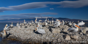 Island of dalmatian pelicans (Pelecanus crispus), Lake Kerkini National Park, Greece