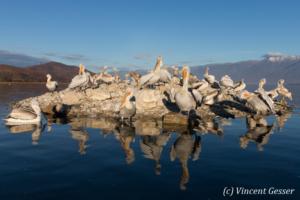 Island of dalmatian pelicans (Pelecanus crispus), Lake Kerkini National Park, Greece