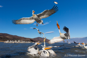 Group of dalmatian pelicans (Pelecanus crispus) standing, flying and catching a fish, Lake Kerkini National Park, Greece
