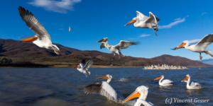 Group of dalmatian pelicans (Pelecanus crispus) standing, flying and catching a fish, Lake Kerkini National Park, Greece