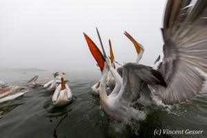 Group of dalmatian pelicans (Pelecanus crispus) swimming and catching a fish, Lake Kerkini National Park, Greece