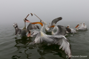 Group of dalmatian pelicans (Pelecanus crispus) swimming and catching a fish, Lake Kerkini National Park, Greece