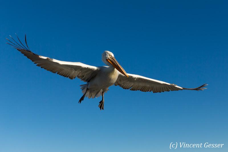 One dalmatian pelican (Pelecanus crispus) in flight, Lake Kerkini National Park, Greece