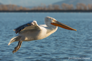 One dalmatian pelican (Pelecanus crispus) in flight, Lake Kerkini National Park, Greece