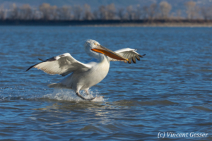 One dalmatian pelican (Pelecanus crispus) sea landing, Lake Kerkini National Park, Greece