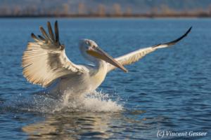 One dalmatian pelican (Pelecanus crispus) sea landing, Lake Kerkini National Park, Greece