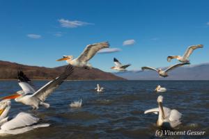 Group of dalmatian pelicans (Pelecanus crispus) flying or taking off, Lake Kerkini National Park, Greece