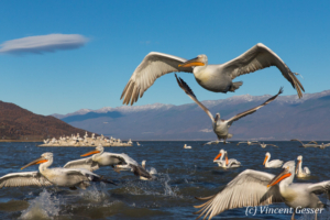 Group of dalmatian pelicans (Pelecanus crispus) flying or taking off, Lake Kerkini National Park, Greece