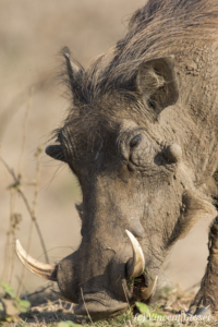 Warthog (Phacochoerus africanus) eating in Mana Pools NP, Zimbabwe, 1