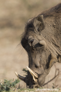 Warthog (Phacochoerus africanus) eating in Mana Pools NP, Zimbabwe, 2
