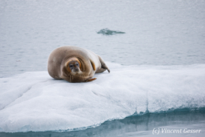 Bearded seal (Erignathus barbatus) laying on a small iceberd, Spitzbergen, Svalbard, 1