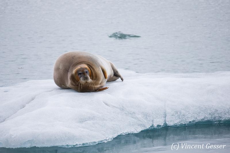 Bearded seal (Erignathus barbatus) laying on a small iceberd, Spitzbergen, Svalbard, 1