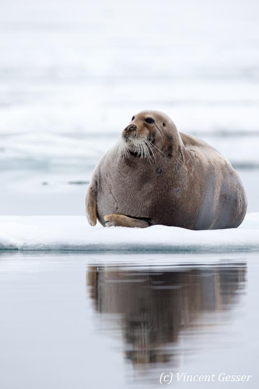 Bearded seal (Erignathus barbatus) laying on a small iceberd, Spitzbergen, Svalbard, 3