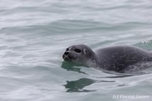 Harbour seal (Phoca vitulina) swimming, Spitzbergen, Svalbard