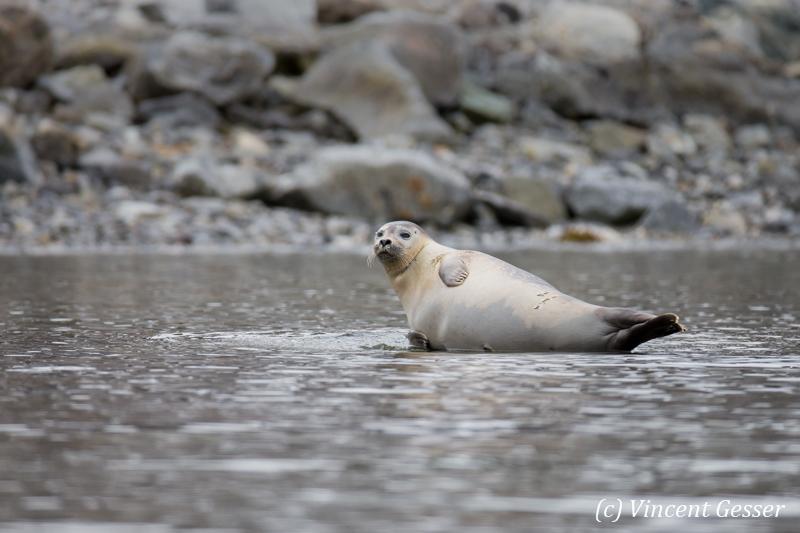 Harbour seal (Phoca vitulina) resting, Spitzbergen, Svalbard, 1