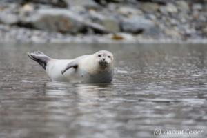 Harbour seal (Phoca vitulina) resting, Spitzbergen, Svalbard, 2
